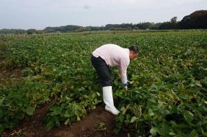 枝豆収穫1
